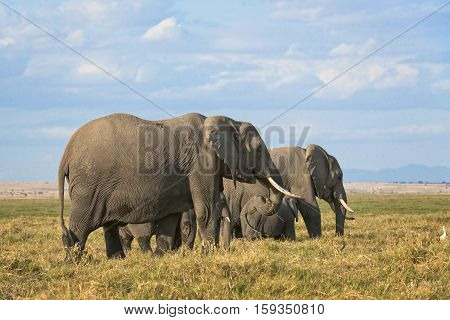 Group of African elephants (Loxodonta africana) two females with calves Kenya