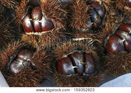 Chestnut with spiky outer shell close up.
