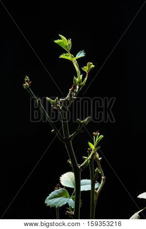 Closeup of dry grass with panicle bunch in flower pot, isolated on black background