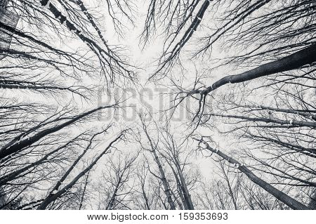 Black and white fisheye winter trees, sky at background