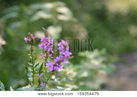 flowerses on background of the herb near creek in wood