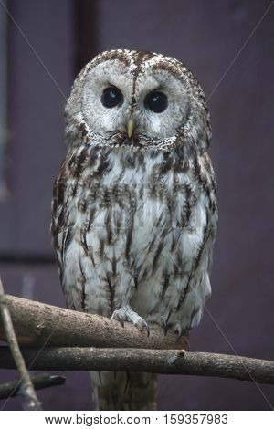 Tawny owl (Strix aluco), also known as the brown owl.