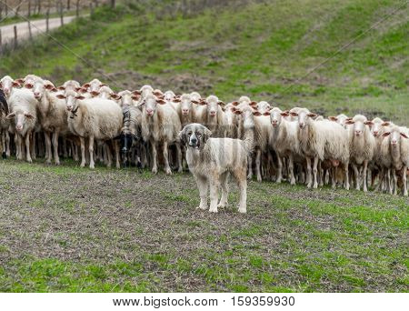 Shepherd dog guarding and leading the sheep flock