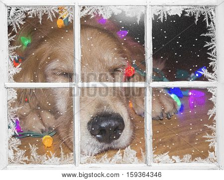 sleeping golden retriever dog with glowing Christmas lights in frosted windowpane with snowflakes