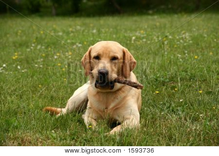 Labrador Playing With A Wooden Stick