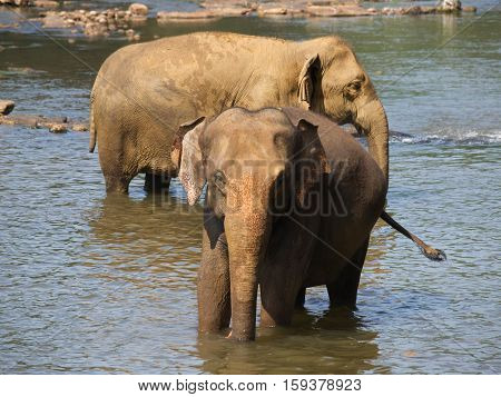 Two elephants in river - Elephas maximus