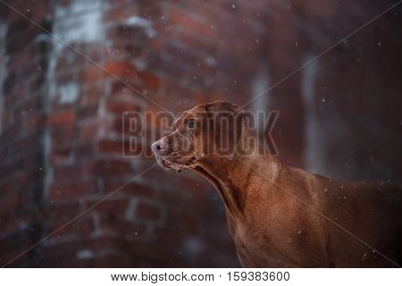 Portrait Dog Vizsla Outdoors On A Brick Background