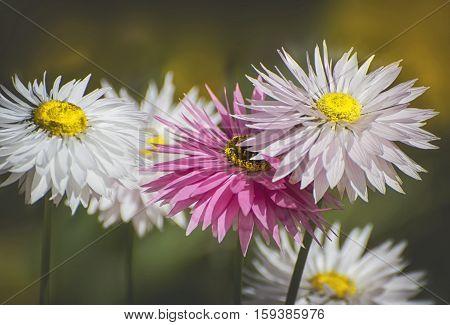 Beautiful Wildflowers Pink everlastings in Western Australia.