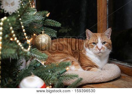 Large older orange and white cat relaxing in the bay window near the Christmas tree.