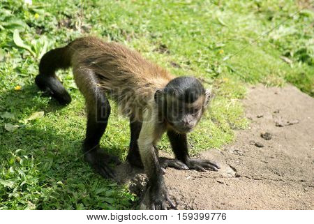 Capuchin monkey looking to see what trouble he can get into