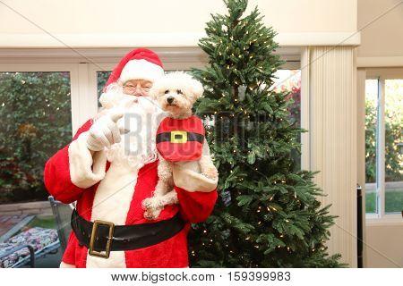Santa Claus poses for photos with a Bichon Frise Dog and a Christmas tree. Santa loves dogs, Santa loves Xmas. Christmas image