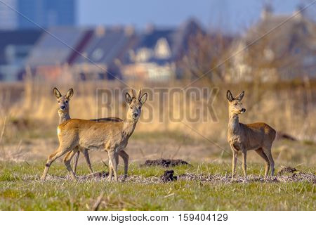 Urbanized Roe Deer