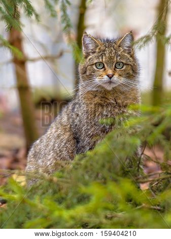 Cute Portrait Of European Wild Cat