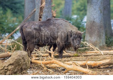 Wisent Foraging In The Forest