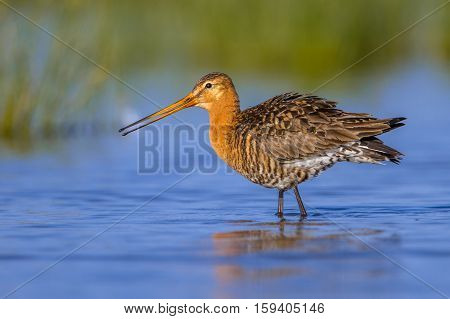 Male Black Tailed Godwit