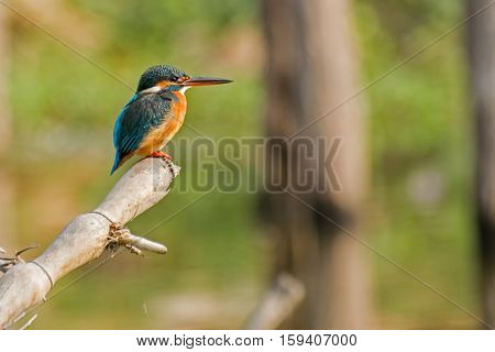 The common kingfisher (Alcedo atthis) also known as the Eurasian kingfisher and river kingfisher sitting on tree in morning light. Shot at Kolkata Calcutta West Bengal India.