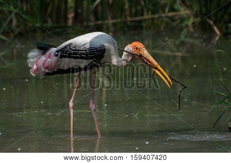 Indian Painted stork (Ibis leucocephalus) making nest with grass Kolkata West Bengal India