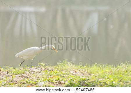 Indian pond heron or paddybird (Ardeola grayii) a small heron walking past a lake with fog in background. Stock image shot at Kolkata Calcutta West Bengal India
