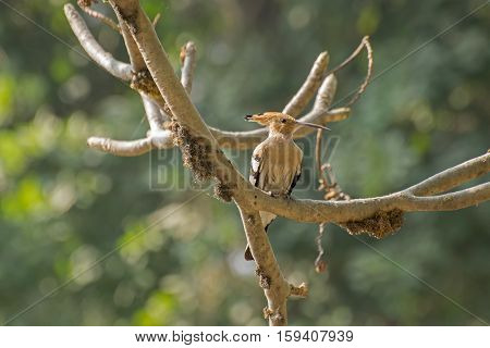 Hoepoe Bird Upupa epops sitting on tree branch. Image shot at Kolkata Calcutta West bengal India