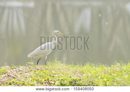 Indian pond heron or paddybird (Ardeola grayii) a small heron walking past a lake with fog in background.