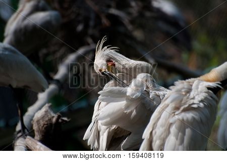Spoonbill Bird cleaning self - Platalea Leucorodia shot at Kolkata West Bengal India