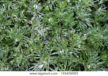 A close up image of water drops on a Dusty Miller plant.
