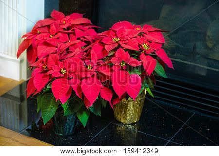 Red Poinsettia (Euphorbia pulcherrima) aka Christmas Star flower in flowerpots by a fireplace