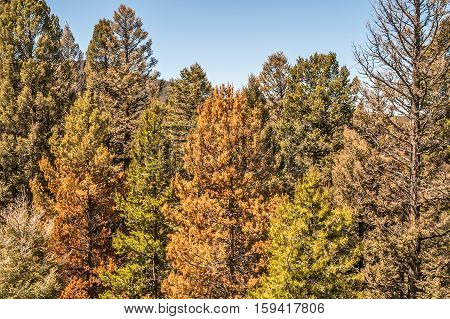 Pine trees in various stages of dying from pine beetle infestation