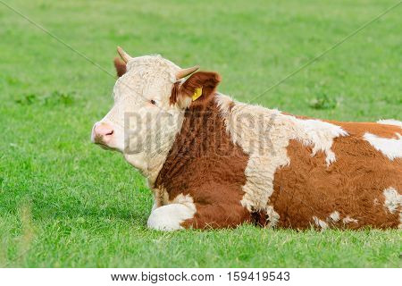 Young cow of Hereford breed lying on sunny Alpine pasture with natural fresh grass
