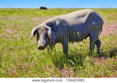 Cerdo iberico iberian pork in Dehesa Grasslands of Spain
