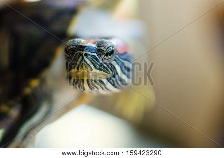 Turtle red eared head. Macro reptilian eyes.