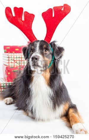 Australian shepherd dog wearing red reindeer antlers with wrapped gifts.
