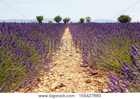 beautiful blossoming lavender fields in a France