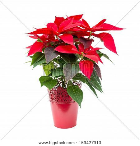 Christmas flower poinsettia in red flowerpot isolated on white background