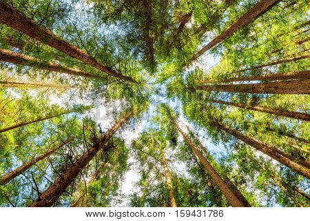 Bottom View Of Old Trees In Evergreen Primeval Forest