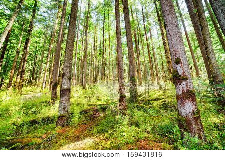 Rays Of Morning Sunlight Through Old Trees Of Evergreen Forest