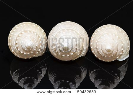Three sea shells of marine snail isolated on black background reflection