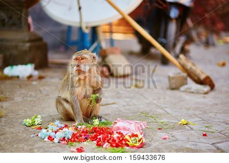 Monkey Eating Offerings In A Balinese Temple