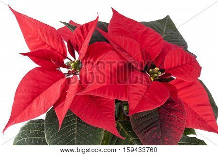 Flowers of Christmas Poinsettia isolated on white background