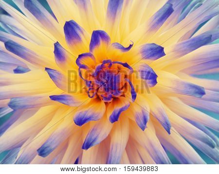 Dahlia flower blue-orange-yellow. Petals colored rays. Closeup. Beautiful dahlia in bloom for design. Nature.