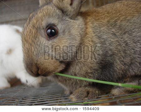 Gray Brown Bunny