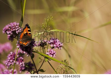 the small tortoiseshell butterfly or aglais urticae