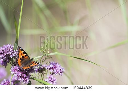 a small tortoiseshell pollinating a purple flower
