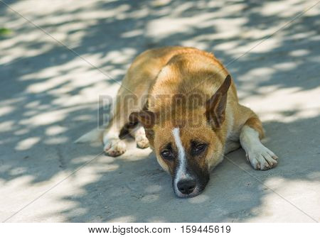 Crimean dog lying on the ground in siesta time.