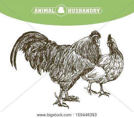chicken breeding. animal husbandry. livestock. vector sketch on a white background