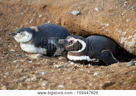 Magellanic Penguin And Its Nestling In Their Barrow