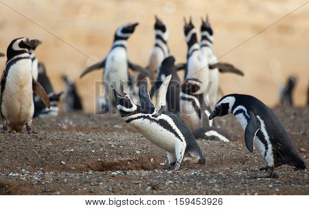 Magellanic Penguin Crying Loud With Its Wings Up