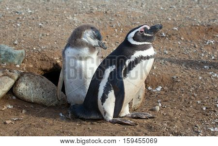 Magellanic Penguin And Its Nestling Near Their Barrow