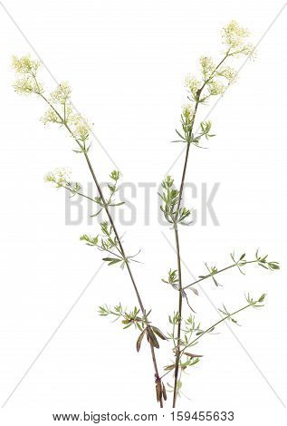 yellow flower (Galium boreale) on white background
