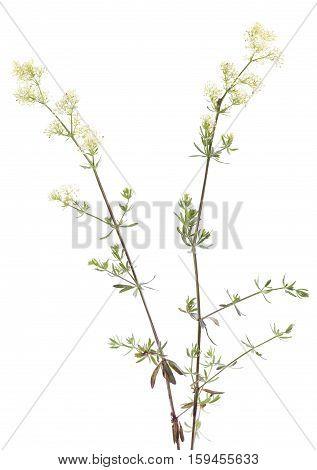 yellow flower (Galium boreale) on white background